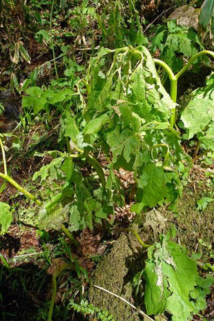 猛烈な降雹でボロボロになったサンカヨウの葉