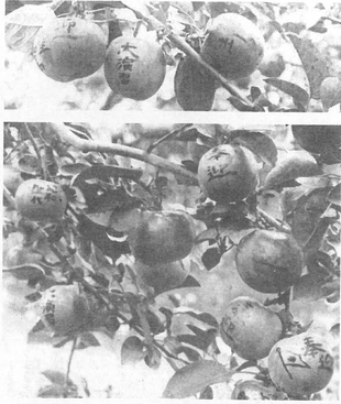 廣田果樹園の文字入りりんご(株式会社平岸会館50周年記念誌より)