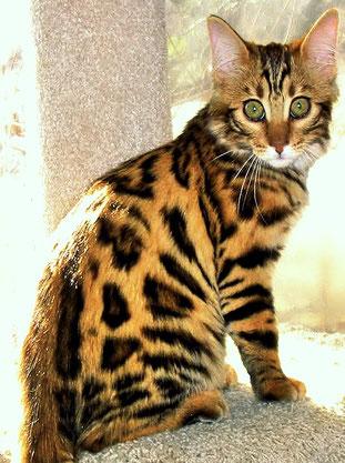 CASHMERE - 14KARATS Desert Jewel (breeder : Tiffanie Martz, Owner : Dorit  Kersting)