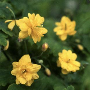 "Chelidonium Majus ""Flore Pleno""- Schöllkraut ""Flore Plenum"" - Englische Blumensaat bei www.the-golden-rabbit.de"