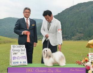 犬種ハバニーズ 2019/9/28ドッグショーチャンピオン ハバニーズ専門ブリーダー ブリリアントハバニーズ