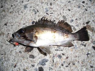 メバルの釣り場 周南市
