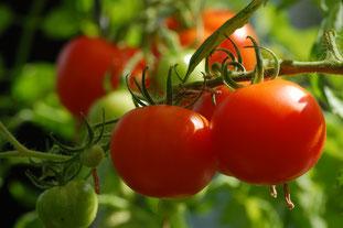 tomate rouge,  aménagement d'un jardin potager plant de tomate