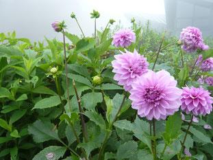 霧の琵琶湖バレーに咲くダリア