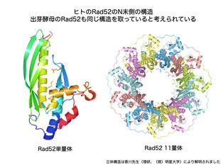 Rad52