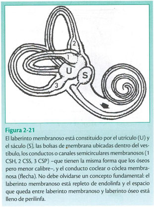 El vestíbulo membranoso, utrículo y sáculo. Otología. LM Gil Carcedo