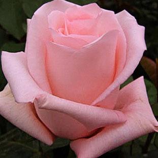 сорт розы Пинк Ноблесс