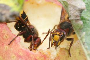 Hornissen fressen an Apfel - Foto: NABU/H. May