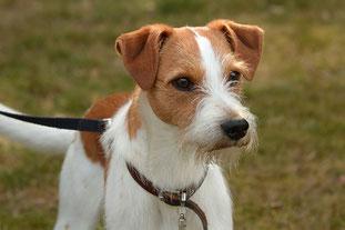 Kromfohrländer Projekthund