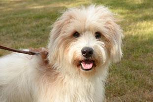 ProKromfohrländer Projekthund