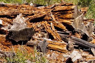 Totholz Braunfäule
