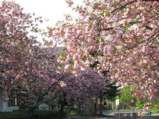 八重桜のアプローチは、この時期歩行者天国です