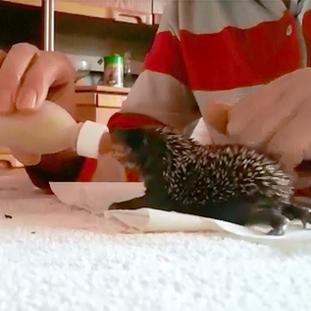 Fütterung der Baby Igel mit der Flasche