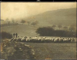 Moutons et Laine d'Alsace