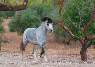 Rescue pony Valeinte after rehabilitation