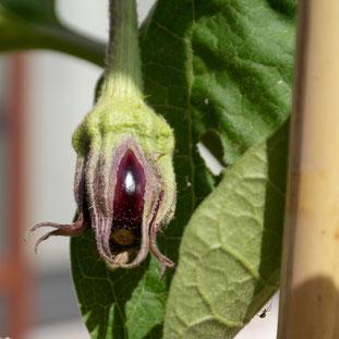 aubergine, kweken, zaaien, verzorgen, voeding, mest, afharden, uitplanten, potgrond, pizza tuin, pizza oven
