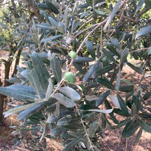 olijf, kweken, zaaien, verzorgen, voeding, mest, afharden, uitplanten, potgrond, pizza tuin, pizza oven