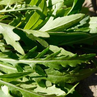 RUCOLA, kweken, zaaien, verzorgen, voeding, mest, afharden, uitplanten, potgrond, pizza tuin, pizza oven
