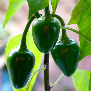paprika, chili, kweken, zaaien, verzorgen, voeding, mest, afharden, uitplanten, potgrond, pizza tuin, pizza oven
