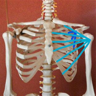 大胸筋の図のついた写真