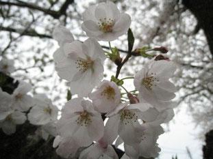 桜、満開♡  今夜はサッカーだ~!