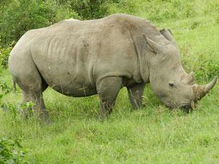 die BIG 5 Safari in Kenia