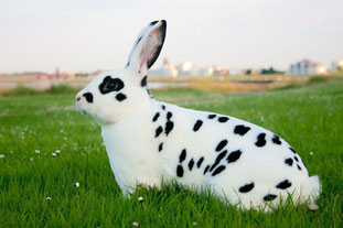 Dalmatiner-Kaninchen