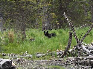 The first Black Bear