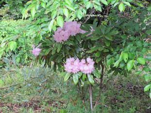 木陰に咲くシャクナゲ
