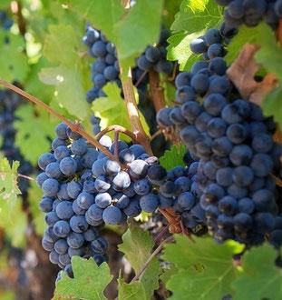 L'uva Gaglioppo