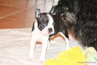 BOSTON TERRIER vom Züchter, Boston Terrier Welpen kleine Gewichtsklasse abzugeben..., unsere Boston Terrier Zucht in Rheinland-Pfalz/Deutschland!