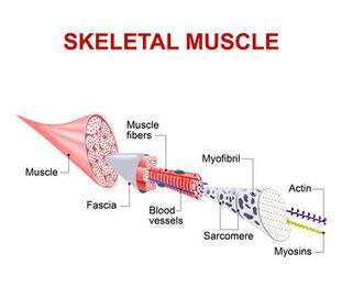 Fascie, Muskelfasern bündelnd
