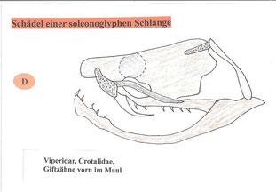Zeichnung eines Schädels einer soleonoglyphen Schlange