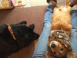 保護犬とらちゃん パニックになって唸ったり噛んだりしたけれど正しい信頼関係を作り、人間を再び信頼してくれるようになりました。