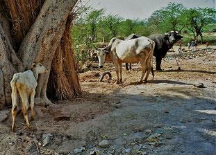 die Dorfkühe genossen einen besonderen Status
