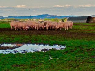 glückliche Schweine in den schottischen Highlands