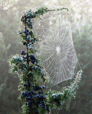 Wacholderstrauch mit Spinnennetz im Frühtau