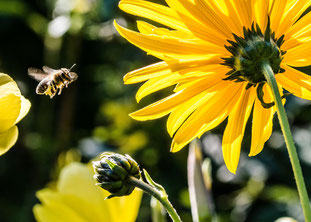 In Zeiten des Bienensterbens ein wichtiger Feiertag: der Tritt-nicht-auf-eine-Biene-Tag. Foto: pexels.com