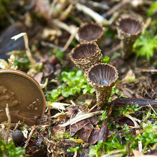 The tiny yet beautiful Fluted Bird's Nest fungus (Cyathus striatus) growing in a mowed field at Distant Hill Gardens.