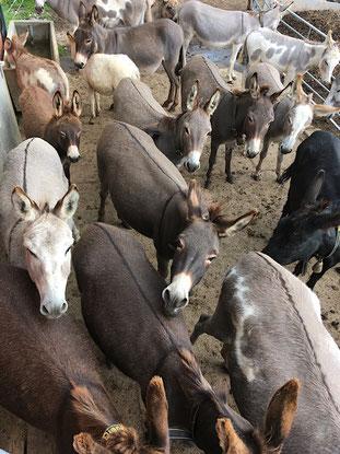 Esel, Eselhaltung, Wissenswertes über Esel, Unterschied Esel und Pferd