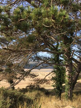 Vue à travers les pins vers la Lagune des Sables d'Or