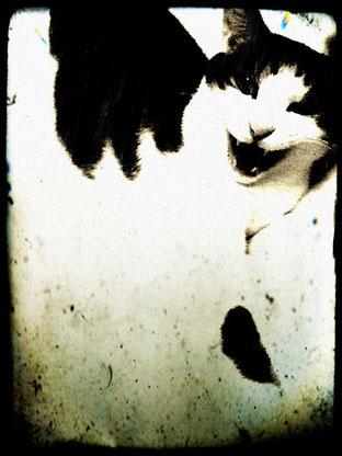 鳴く猫の顔。