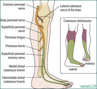 腓骨神経麻痺の神経支配