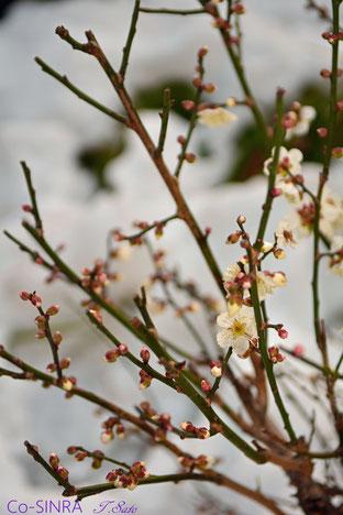 雪中で咲く梅