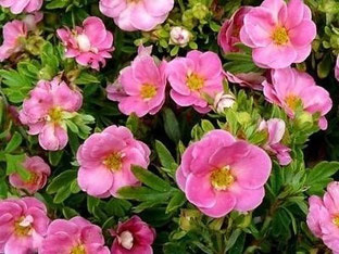 Лапчатка Розовая саженцы