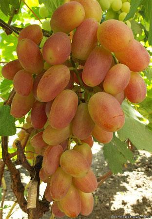 саженцы винограда,сорт Сенсация купить в Клину