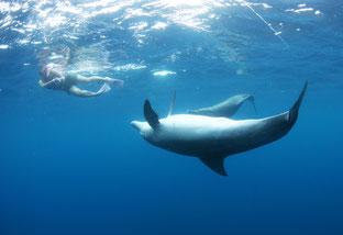 人の後ろのトビウオを狙う御蔵島のイルカ