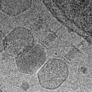 Shewanella oneidensis microcolony