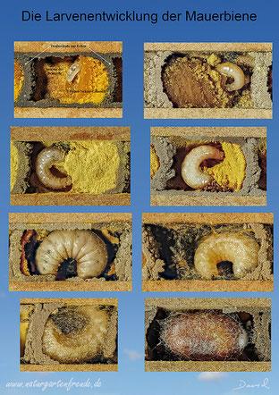 Mauerbiene Osmia bicornis Rot Rostrot Beobachtungsnistkasten Entwicklung Entwicklungszyklus Insektenhotel Ei Larve Kokon Metamorphose