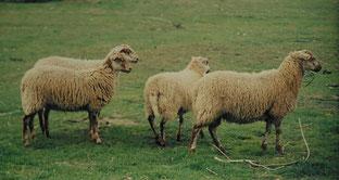 Flämische Houtlandschafe